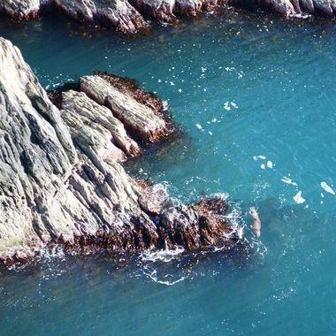 Seal swimming around the rocks