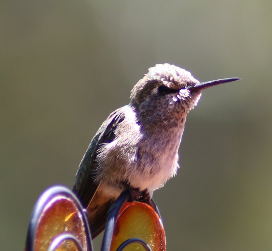 Tiny Hummingbird