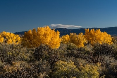 Fall cottonwoods, Rio Puerco