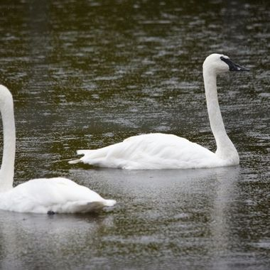 Swans that reside at nearby lake and photographed them on a gloomy, rainy day happily swimming in the rain.