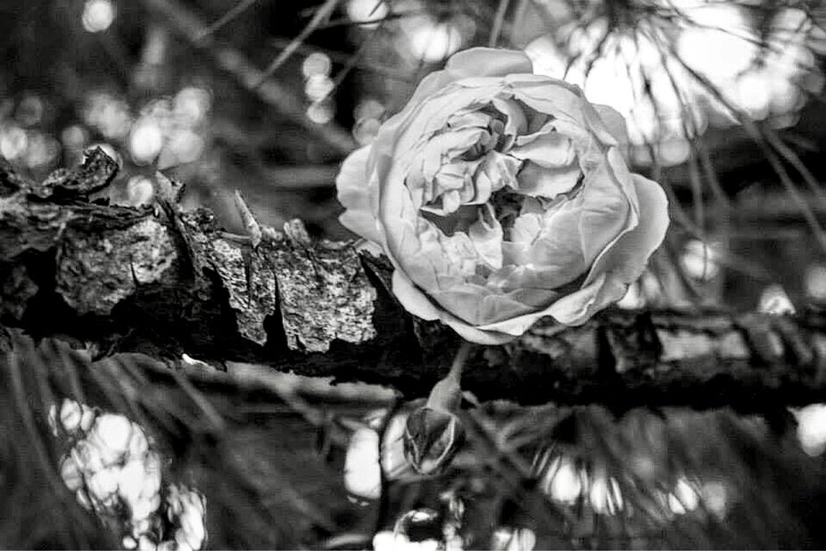 This rose grows up and wraps around the pine tree...