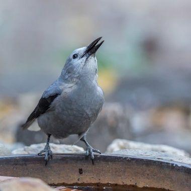 AKA Clark's Crow, or Woodpecker Crow
