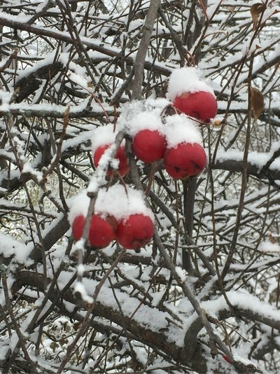 These crab apples but I'm not yet drop from the tree make a beautiful red backdrop with all the white fresh snow