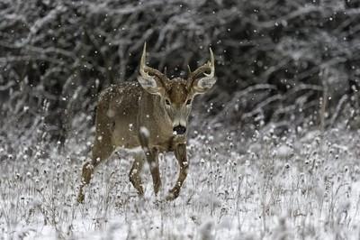 Buck in snowfall