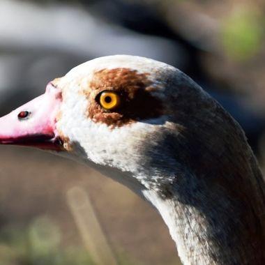 Head of an Egyptian goose.