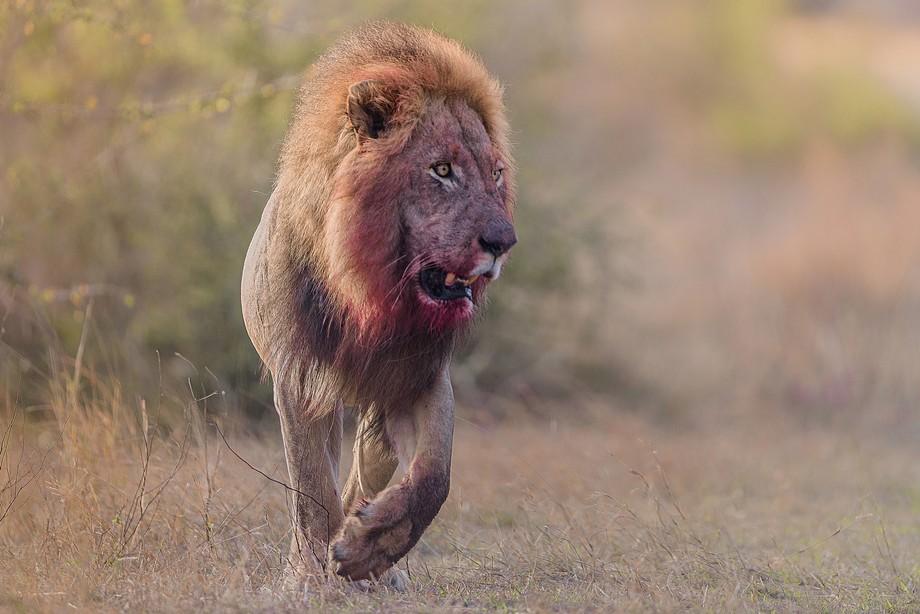 A male lion in his prime, after a morning feast in Kruger