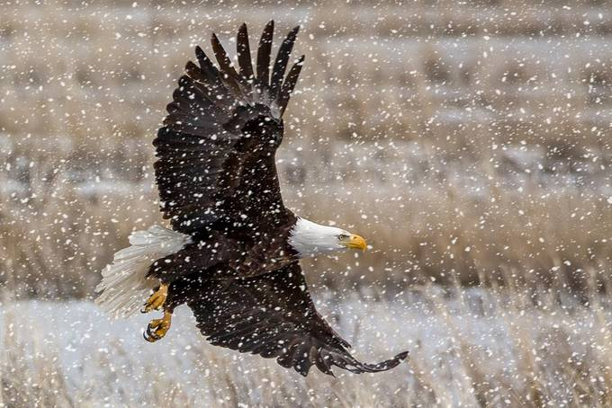 by janlightfoot - Majestic Eagles Photo Contest