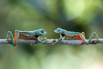 Javan tree frog face to face on branch