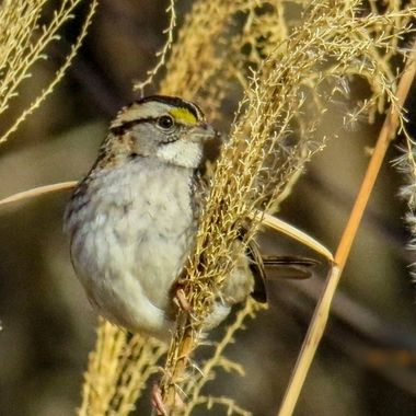 White-throated Sparrow copy