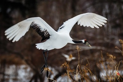 Flying Red Crowned crane