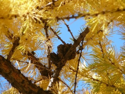 In the branches of a larch