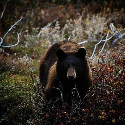Happy Halloween! . . . . . . #bear #blackbear #montana #montanamountains #wildlife #wild #wildlifeplanet #halloween #montanalife #canon70d #nature#naturelovers #wildlifephotography #nps #mommabear #montanaphotography #montanawildlife #animals