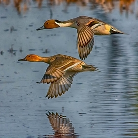 pintails flying as one