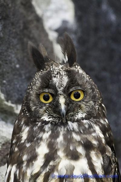STYGIAN OWL, Asio stygius, OTAVALO, ECUADOR.