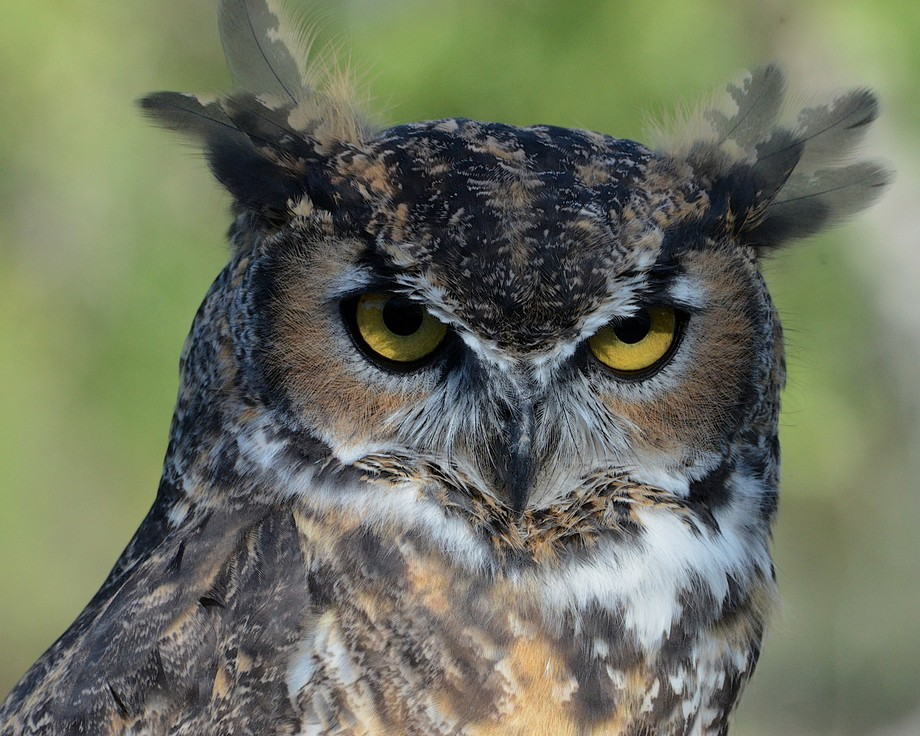 Great Horned Owl makes the perfect raptor for Halloween!
