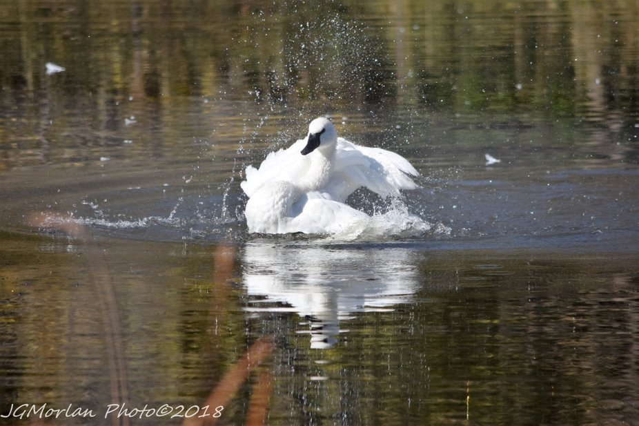 Trumpeter Swan takes a bath on a summer day.