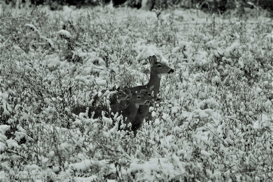 First snow of the season was October 14, 2018, catching everyone off guard.  Including this mother and her fawns.