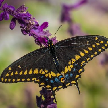 A possible swallowtail butterfly near Lake Travis, Texas