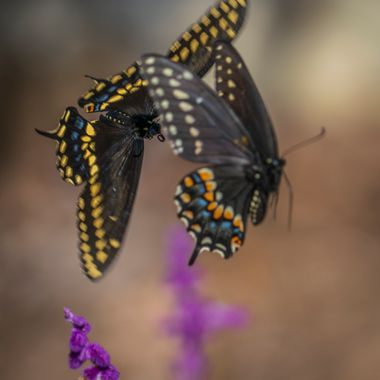 Two butterflies engaging in what appeared to be a territorial squabble near Lake Travis, Texas