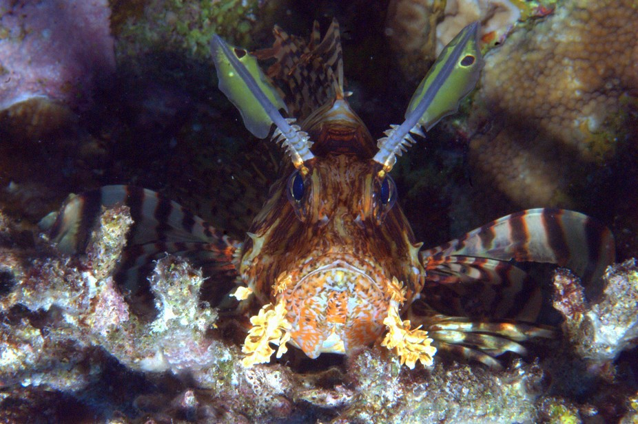 Eye in eye with a Lionfish.