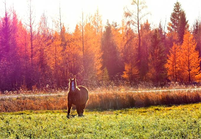 Shot this horse feeding in the alfalfa with the evening sun on the tamaracks behind it on a beautiful fall evening