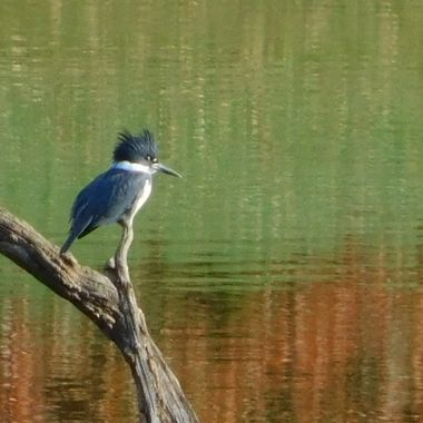 King Fisher Reflections