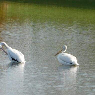 American White Pelicans Preening