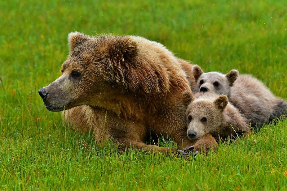 Bear 18 Alaska 2018