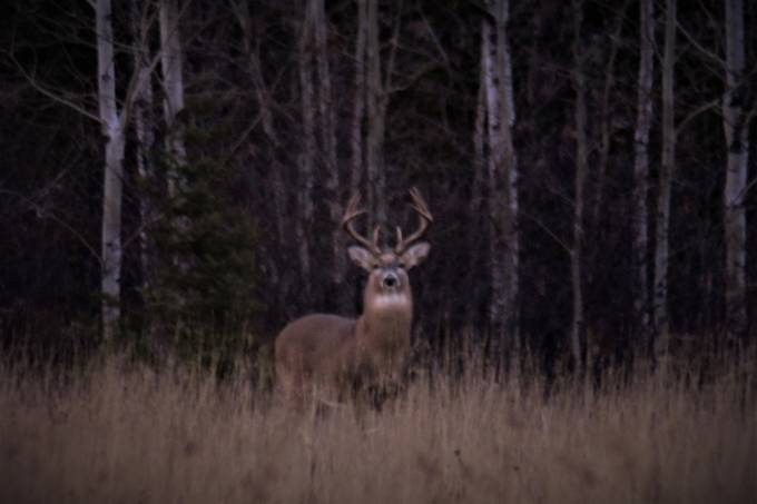 Trying for a year to get a decent photo of this monster, finally did tonight! Shot it at dusk, about 200 yards away with a Lightdow 420-800 lens. Nikon D3400