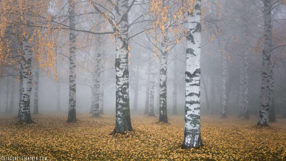 Autumn birch trees in some amazingly foggy weather. Photo was taken in Joensuu, Finland.
