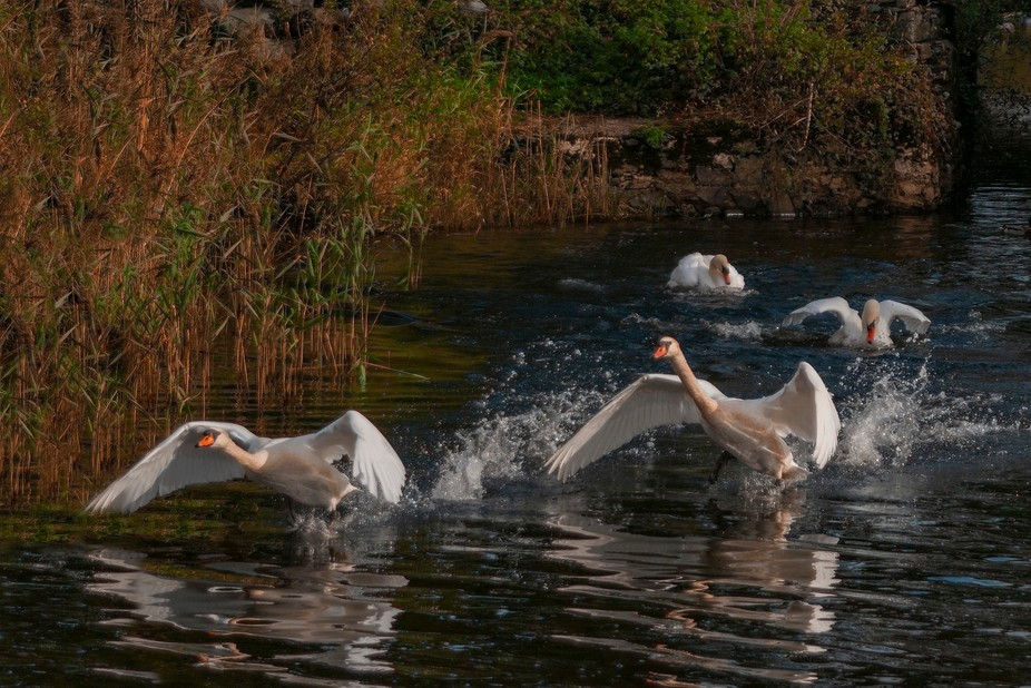 swans taking off