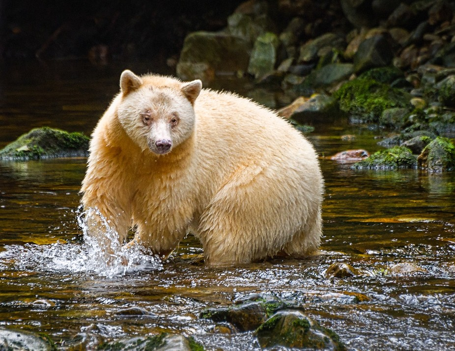 A Spirit Bear fishing for salmon in The Great Bear Rainforest, British Columbia. We had waited qu...