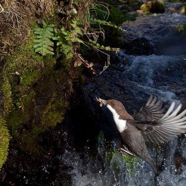 Mirlo acuatico (Cinclus cinclus) en vuelo. Ave exclusiva de los rios de montaña o aguas muy limpias. Con barrera de IR y flashes