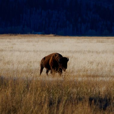Bison roaming in Grand Teton National Park, Wyoming, USA