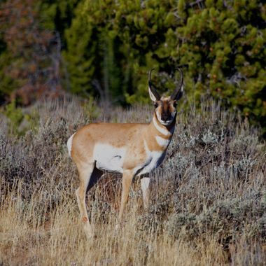 A pronghorn antelope in Grand Teton National Park, Wyoming