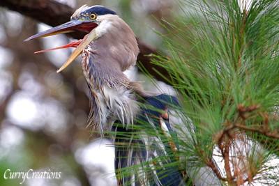 Blue Heron in a tree squawking
