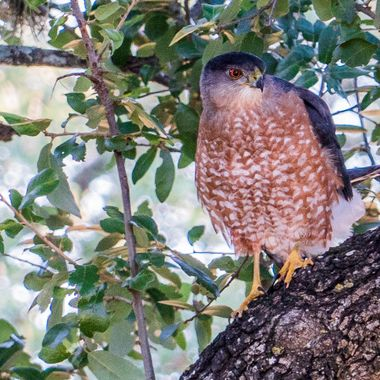 This is possibly a Coopers Hawk, that had just completed an unsuccessful  diving attack on a flock of small birds that were sitting in a large bush. Taken near Lake Travis, Texas