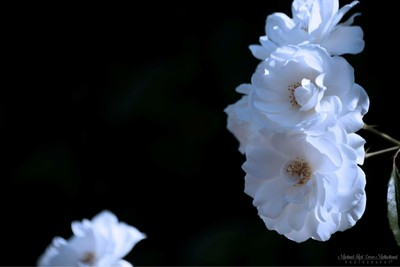Glowing White Carnations