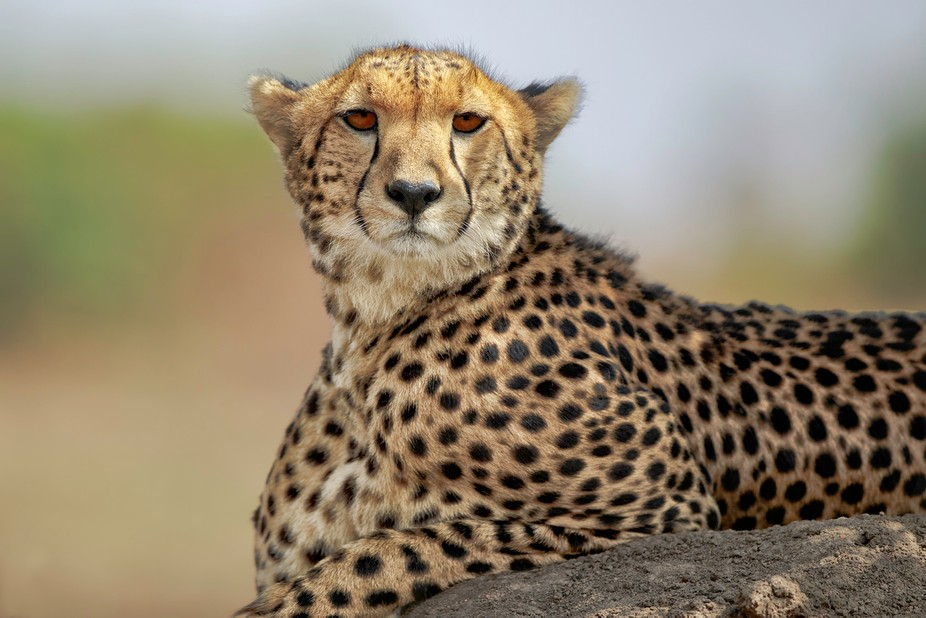 this proud Cheetah mom was watching her young one bounce around