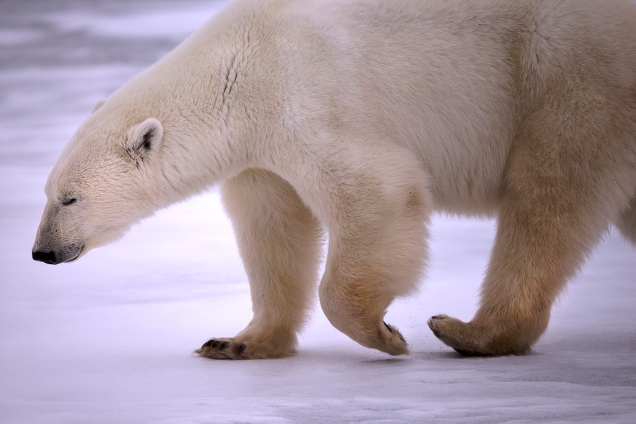 The polar bears at Churchill are waiting for the sea ice to form.For now they wander around the t...