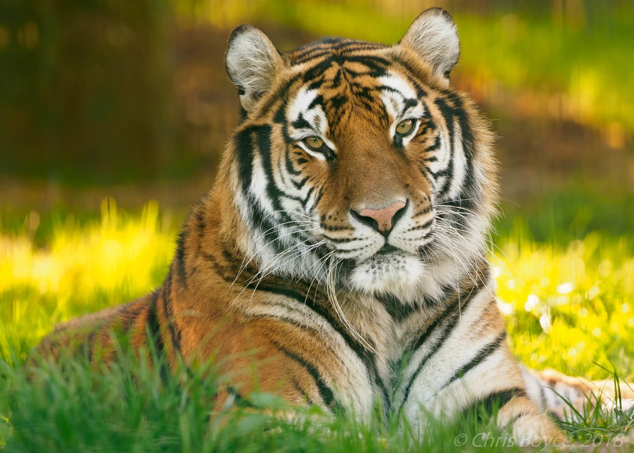 Four year-old female tiger, Natahsa, in early November after a chilly week.
