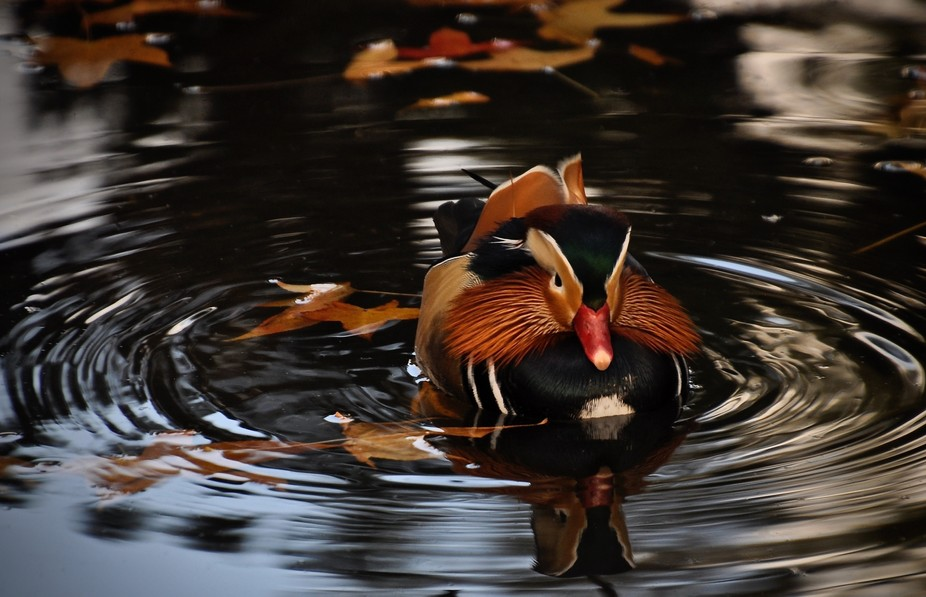 A Mandarin duck in a pond.  Amazing colors and such a beautiful bird.