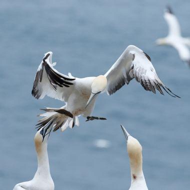 Colonia de cria de Alcatraces al norte de Escocia.Los nidos estan tan proximos unos de otros que algunos tienen dificultades para aterrizar