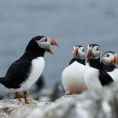 Frailecillos (Fratercula arctica) en las Islas Farne,Mar del Norte, England. en el mes de Junio, periodo de reproduccion.