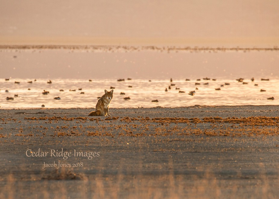 Coyote on the banks of the Great Salt Lake