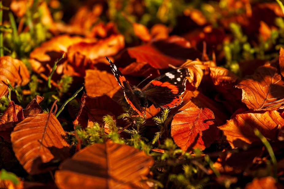A red Admiral butterfly soaks up the sun on a forest floor.