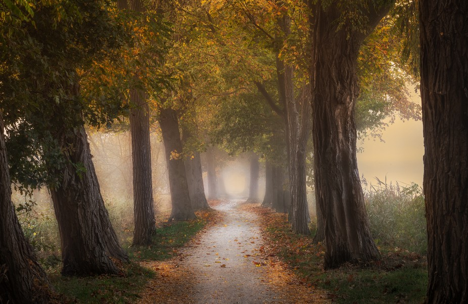 A lane of acacia trees on a cold foggy autumn morning