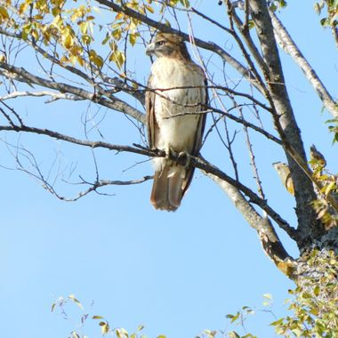 Sunny Day Red Tail Hawk
