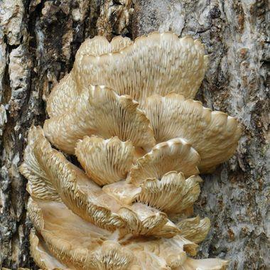Scallop Fungus