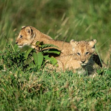 Male and Female Lion Cubs